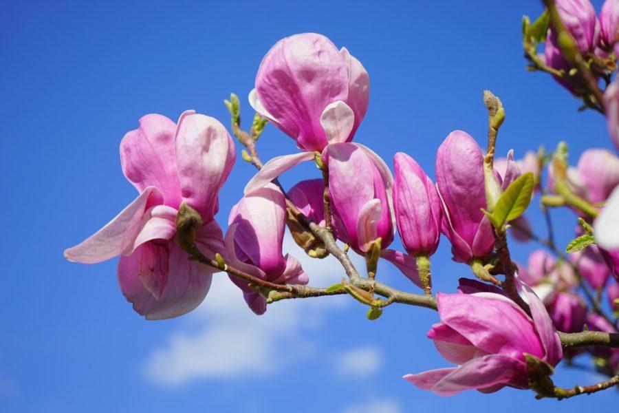 Magnolienblüten mit dem Himmel im Hintergrund