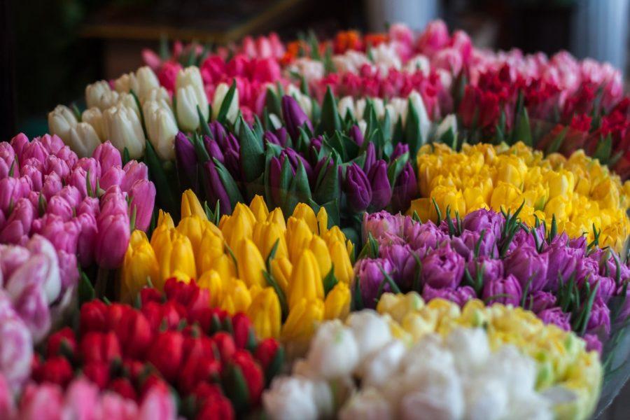 verschiedenfarbige Tulpen