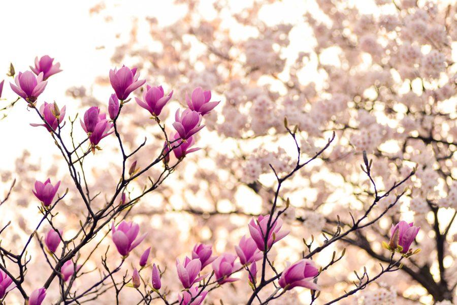 Magnolienblüten im Frühling